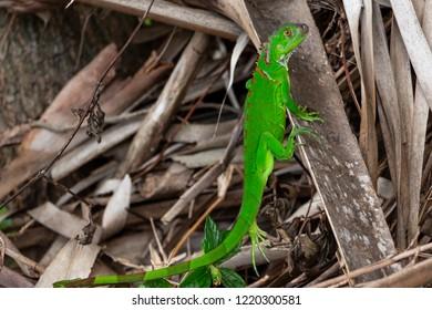 Juvenile green iguana (iguana iguana) - Topeekeegee Yugnee (TY) Park, Hollywood, Florida, USA