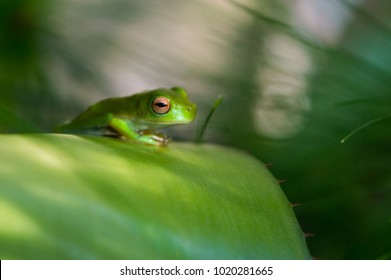 Juvenile Green Tree Frog sits upon a curved bromeliad leaf