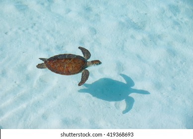 Juvenile Green Turtle from above with shadow in clear water in a lagoon.
