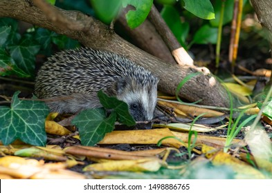 Juvenile hedgehog searching for food