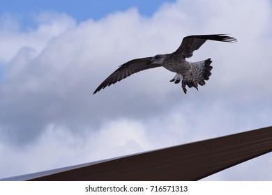 Juvenile herring gull, coming in to land