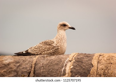 Juvenile Herring Gull (Larus argentatus) sitting atop a stone wall