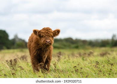 Juvenile Highland cow looking towards the viewer. It is standing in a grassland of Lentevreugd in The Netherlands
