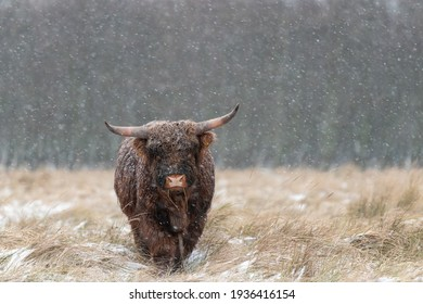 Juvenile Highland cow in snowy weather, looking towards the camera. The background are dark blurry trees