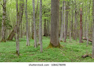 Juvenile hornbeam stand with single old oakin spring, Bialowieza forest, Poland, Europe