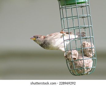 A juvenile House Sparrow on a bird feeder.