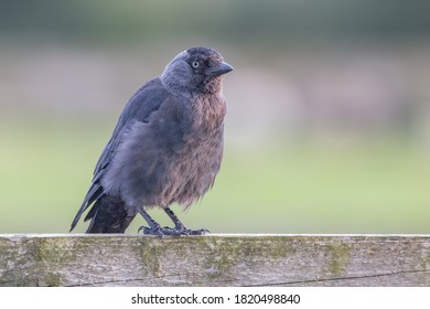Juvenile jackdaw with fluffy feathers sitting on fence