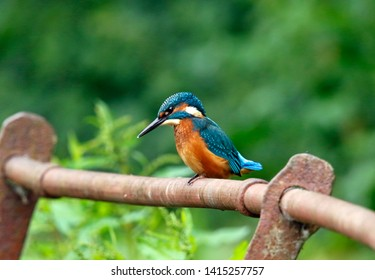 Juvenile kingfisher in sunshine and showers