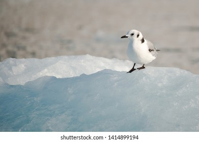 Juvenile kittiwake (rissa tridactyla) stands on ice in the arctic