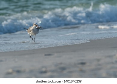 Juvenile Laughing Gull (Leucophaeus atricilla) with a fish on the beach on the gulf coast of Florida, USA.