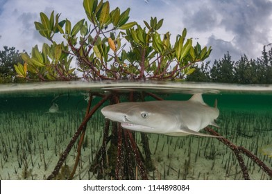 Juvenile lemon sharks are swimming in shallow clear water between mangroves.