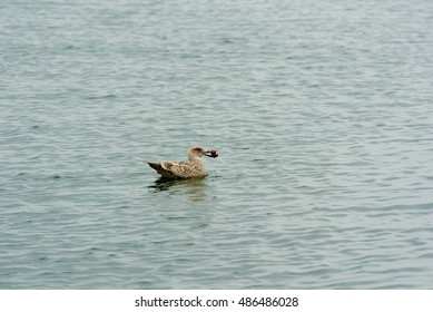 Juvenile lesser black backed gull (Larus fuscus) swimming in sea with food in beak.