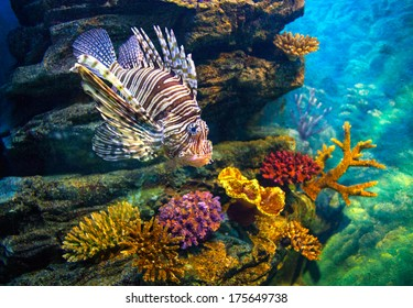 Juvenile lionfish over multicolored corals. Canon 5D Mk II.