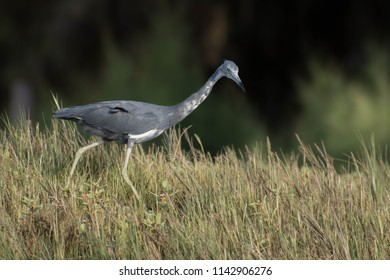 A juvenile little blue heron