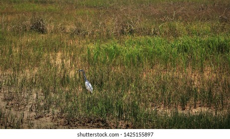 Juvenile Little Blue Heron in a Marsh