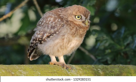 Juvenile Little Owl crouching low on wooden fence