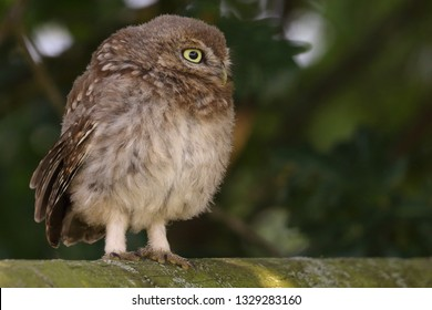 Juvenile Little Owl looking rather plump on wooden fence