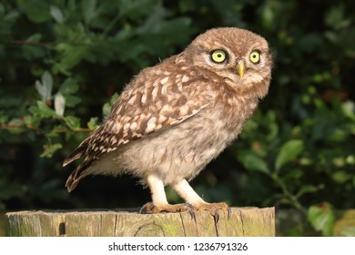 Juvenile Little Owl on post staring intensely