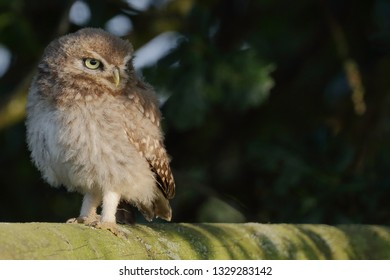 Juvenile Little Owl on wooden fence in evening sun against dark foliage