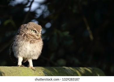 Juvenile Little Owl on wooden fence against dark background