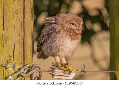 Juvenile little owl sitting on electric fence wire by gate post