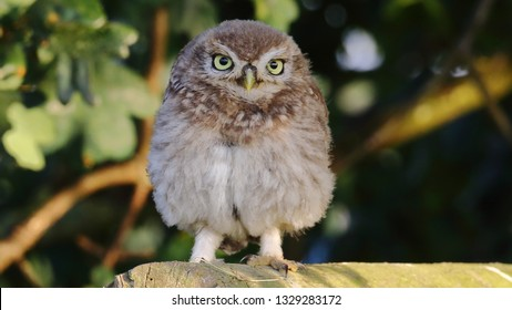 Juvenile Little Owl standing in evening sun on wooden fence