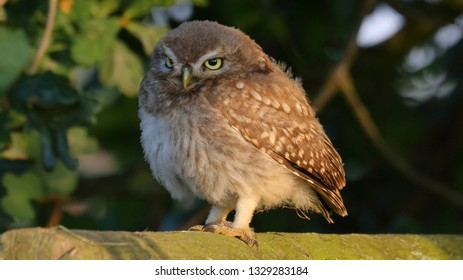 Juvenile Little Owl standing in evening sun on fence