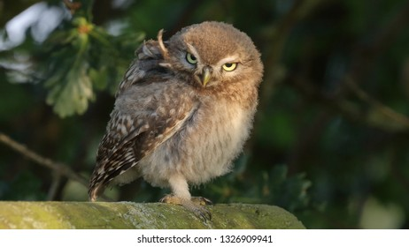 Juvenile Little Owl standing on wooden fence looking windswept