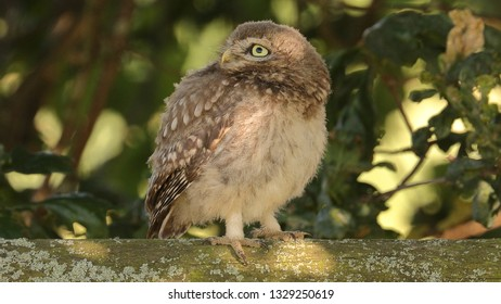 Juvenile Little Owl standing on fence looking sideways