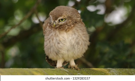 Juvenile Little Owl standing on wooden fence with shrubbery behind