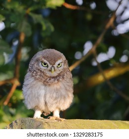 Juvenile Little Owl standing on wooden fence with trees and shrubs behind