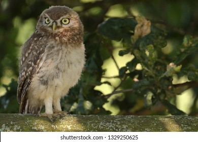Juvenile Little Owl standing tall on fence