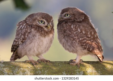 Juvenile Little Owls facing each other on wooden fence