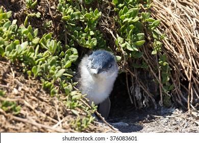 Juvenile Little Penguin outside its burrow at the Noobies