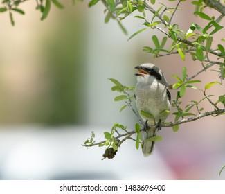 Juvenile Loggerhead Shrikes in Bush