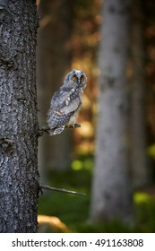 Juvenile Long-eared Owl, Asio otus, just after leaving the nest in late summer, perched on spruce branch against trees in background.Juvenile plumage,czech wildlife,european forest, bokeh background.