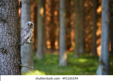 Juvenile Long-eared Owl, Asio otus, just after leaving the nest in late summer, perched on spruce branch against trees in background.Juvenile plumage, wildlife, european forest,dynamic light.