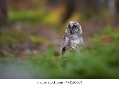 Juvenile Long-eared Owl, Asio otus, just after leaving the nest in late summer, sitting on rock on the ground behind bilberry.  Juvenile plumage, wildlife, european forest, colorful light.