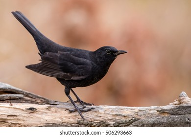 A juvenile male Common Blackbird (Turdus merula) also called Eurasian Blackbird or simply Blackbird. The male juveniles still have a black beak during the first winter, it will later turn to yellow.