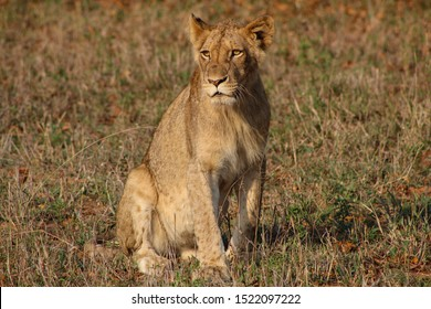 Juvenile male lion photographed in South Africa.
