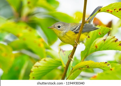 Juvenile male Magnolia Warbler perched on a branch. Ashbridges Bay Park, Toronto, Ontario, Canada.