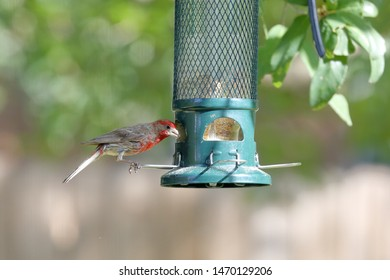 A juvenile male Northern Cardinal (Cardinalis cardinalis) which is also known as a common cardinal, redbird, or just cardinal, is perched upon a bird feeder