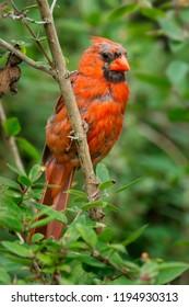 Juvenile male Northern Cardinal perched on a branch. Ashbridges Bay Park, Toronto, Ontario, Canada.