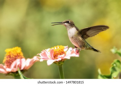 Juvenile male Ruby-throated Hummingbird sitting on a light pink Zinnia flower with his wings open in bright morning sunlight