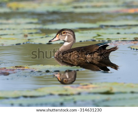 Juvenile Male Wood Duck Drake Swimming Stock Photo Edit Now