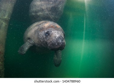A juvenile manatee swimming under a dock.