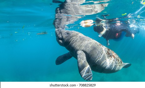 Juvenile manatee swims along side snorkeler