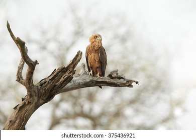 Juvenile, medium-sized eagle, Bateleur, Terathopius ecaudatus, perched on dead tree against very bright background, looking for prey. South Africa.