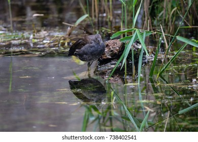 Juvenile moorhen duck reflection whilst standing in still lake water