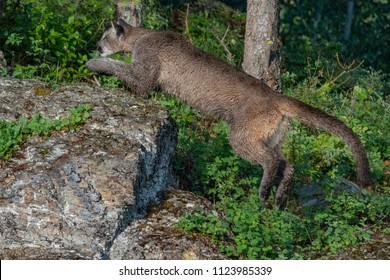 A juvenile mountain lion leaps off a rocky outcropping towards its prey.